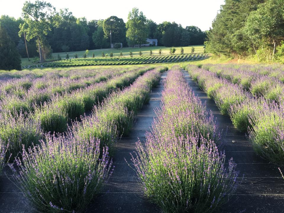 Carolina Lavender Farm